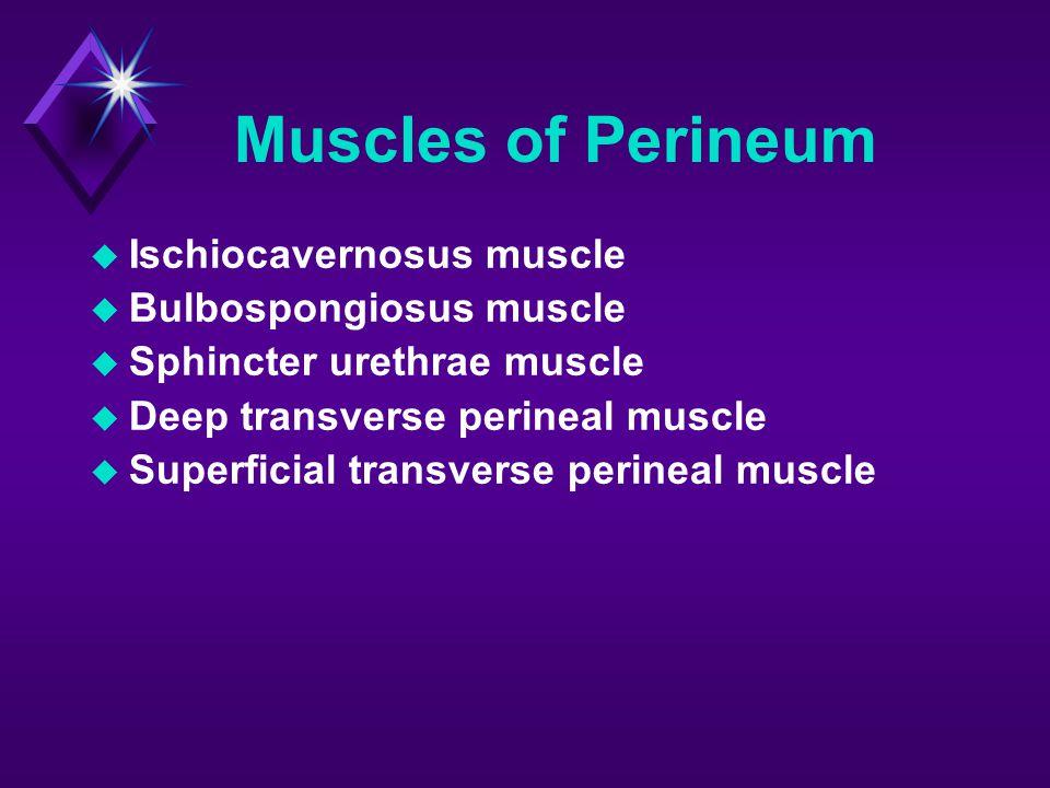 Muscles of Perineum Ischiocavernosus muscle Bulbospongiosus muscle