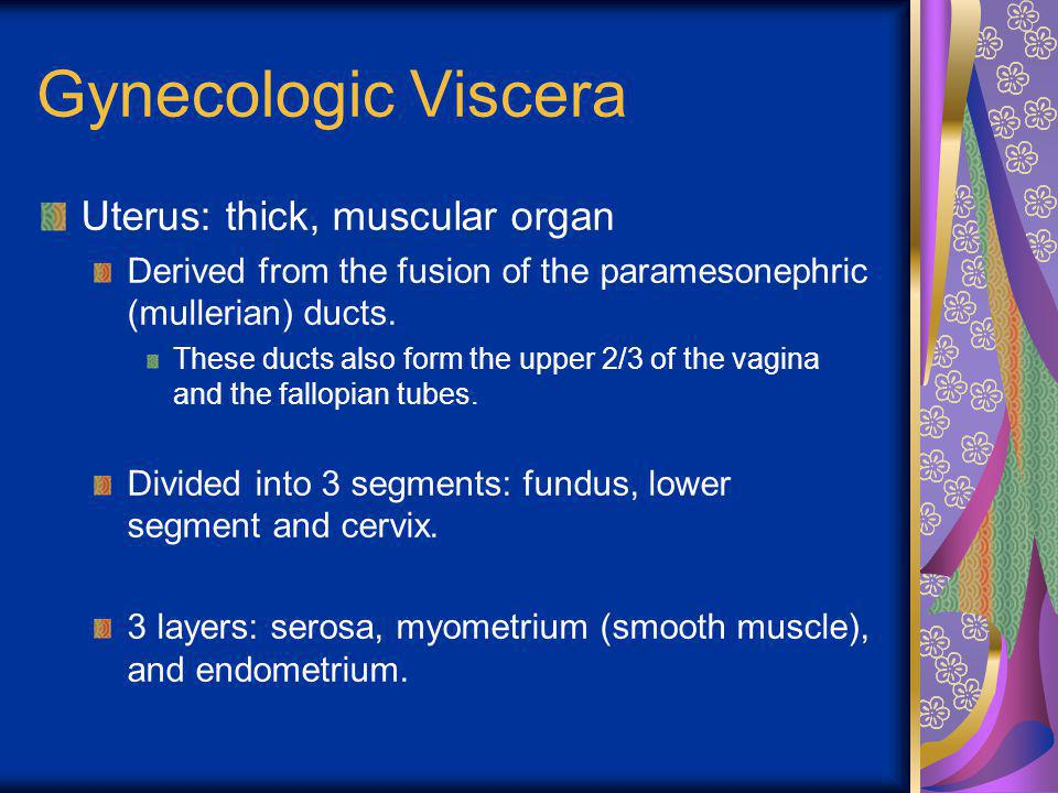 Gynecologic Viscera Uterus: thick, muscular organ