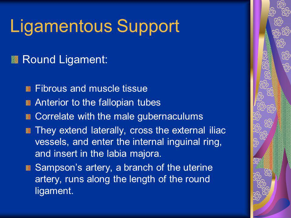 Ligamentous Support Round Ligament: Fibrous and muscle tissue