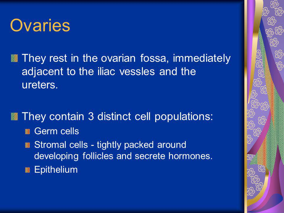 Ovaries They rest in the ovarian fossa, immediately adjacent to the iliac vessles and the ureters. They contain 3 distinct cell populations: