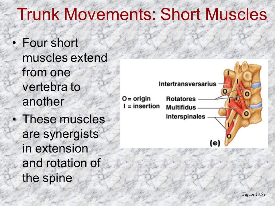 Trunk Movements: Short Muscles
