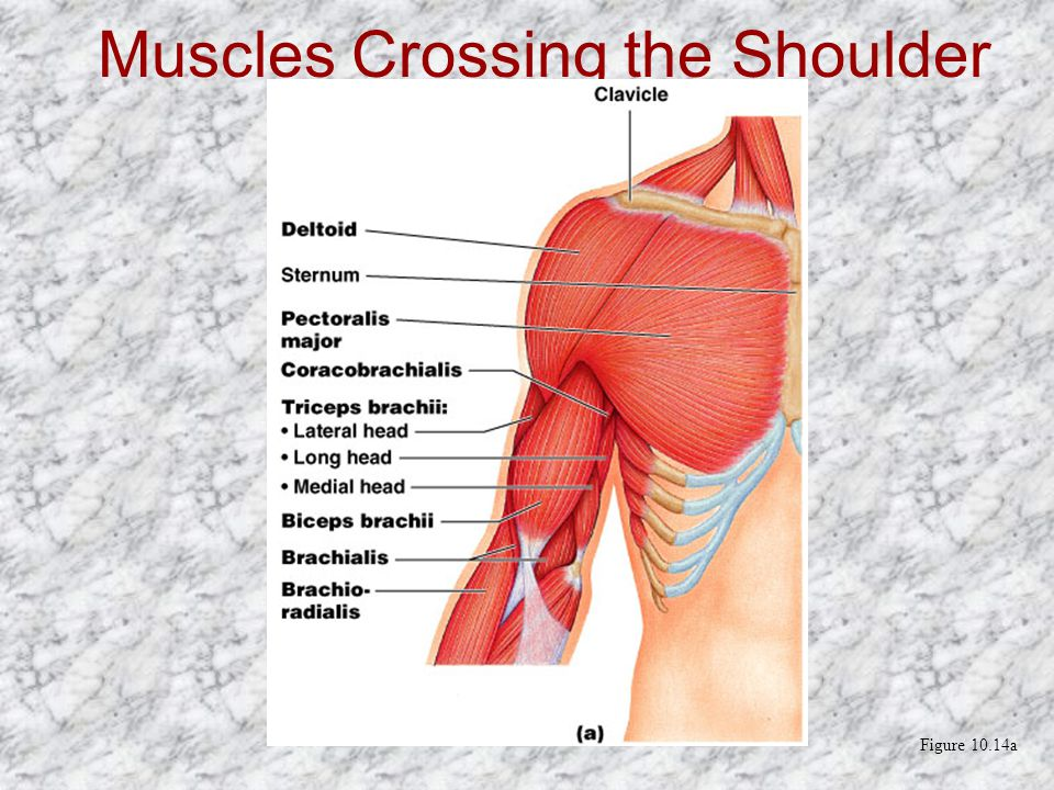 Muscles Crossing the Shoulder