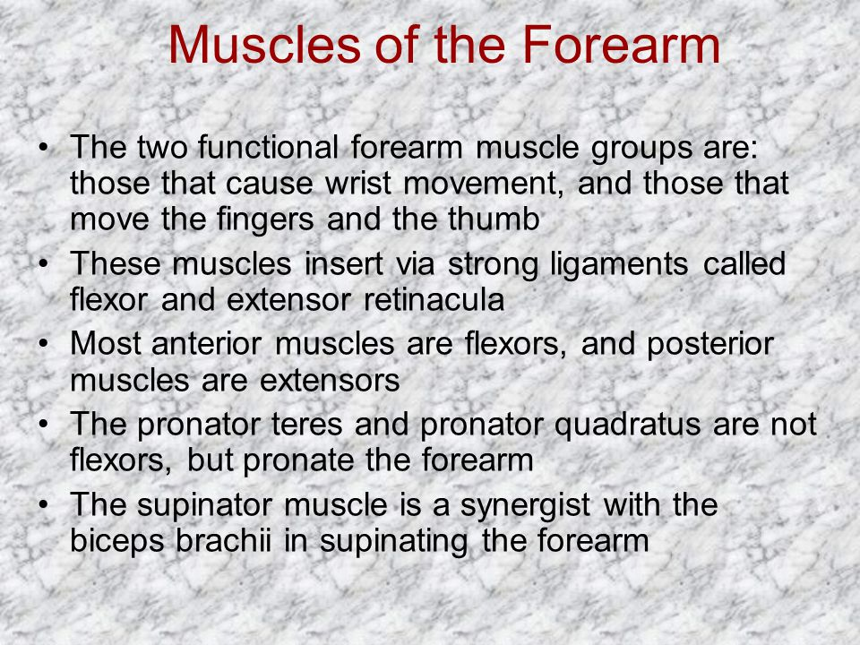 Muscles of the Forearm The two functional forearm muscle groups are: those that cause wrist movement, and those that move the fingers and the thumb.