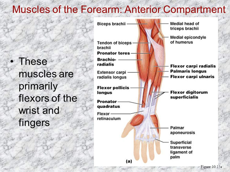Muscles of the Forearm: Anterior Compartment