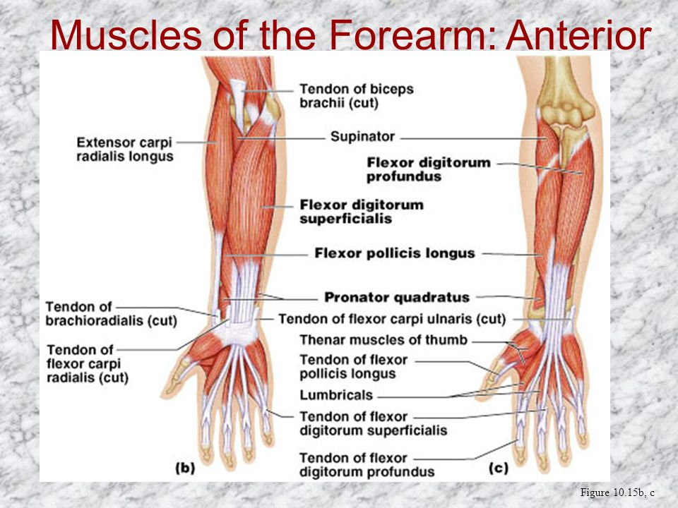 Anatomy forearm muscles 8686180 - follow4more.info