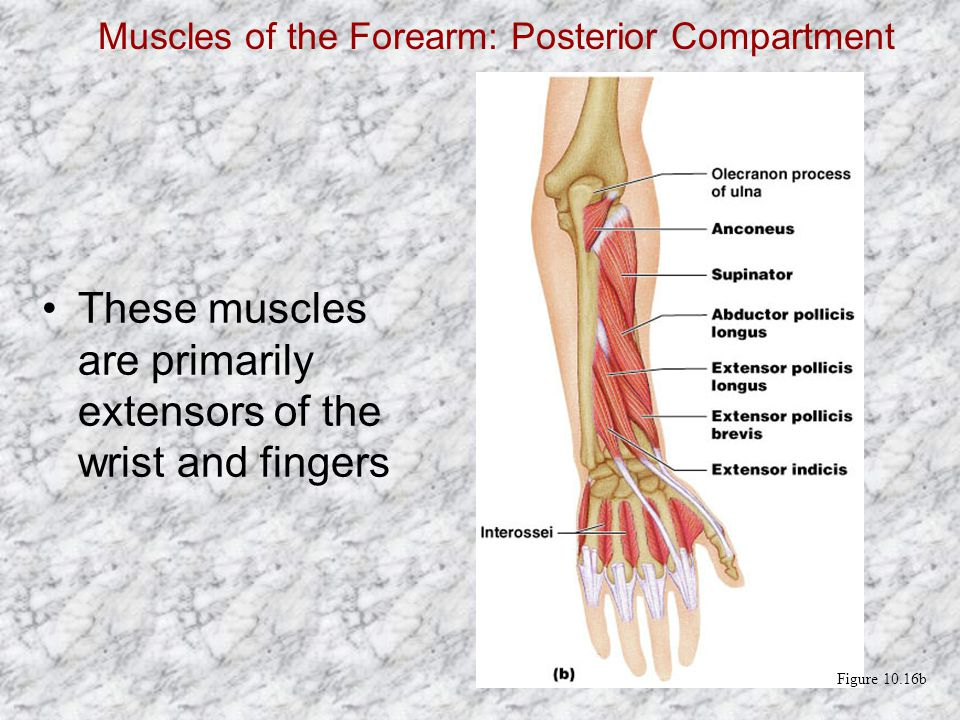 Muscles of the Forearm: Posterior Compartment