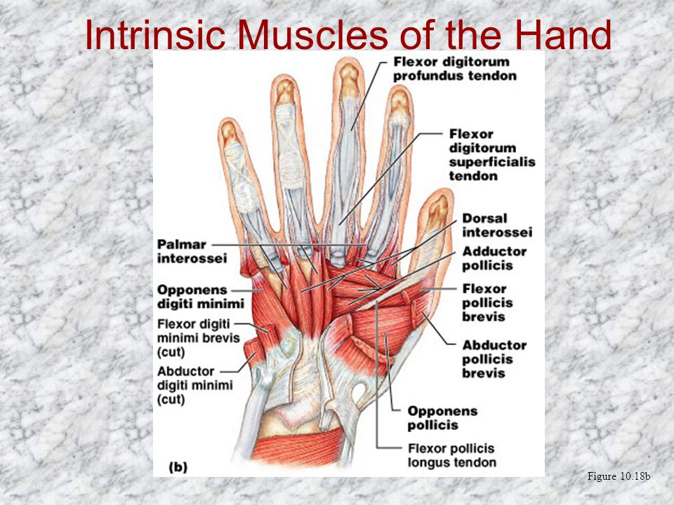 Intrinsic Muscles of the Hand