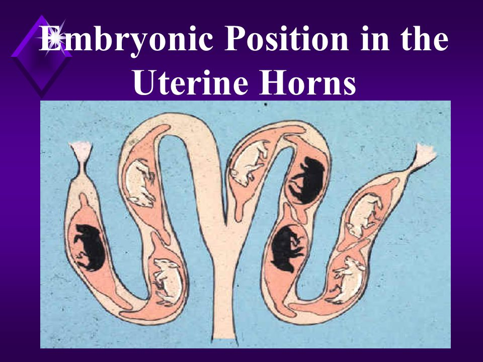 Embryonic Position in the Uterine Horns
