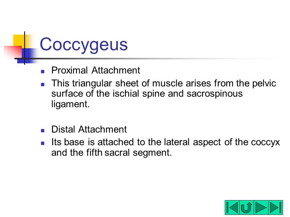 Coccygeus Proximal Attachment