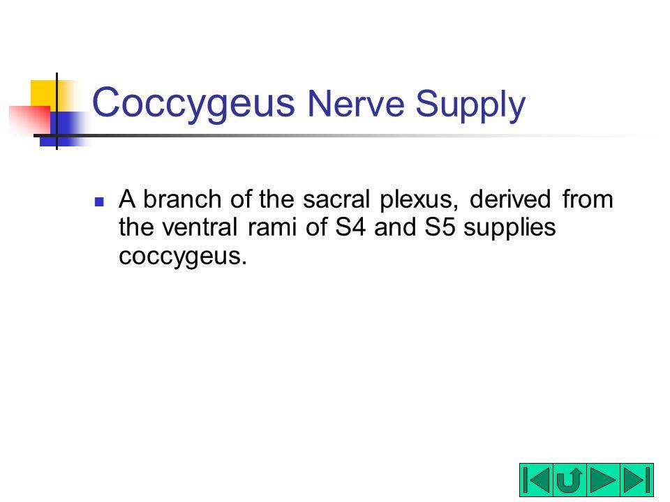Coccygeus Nerve Supply