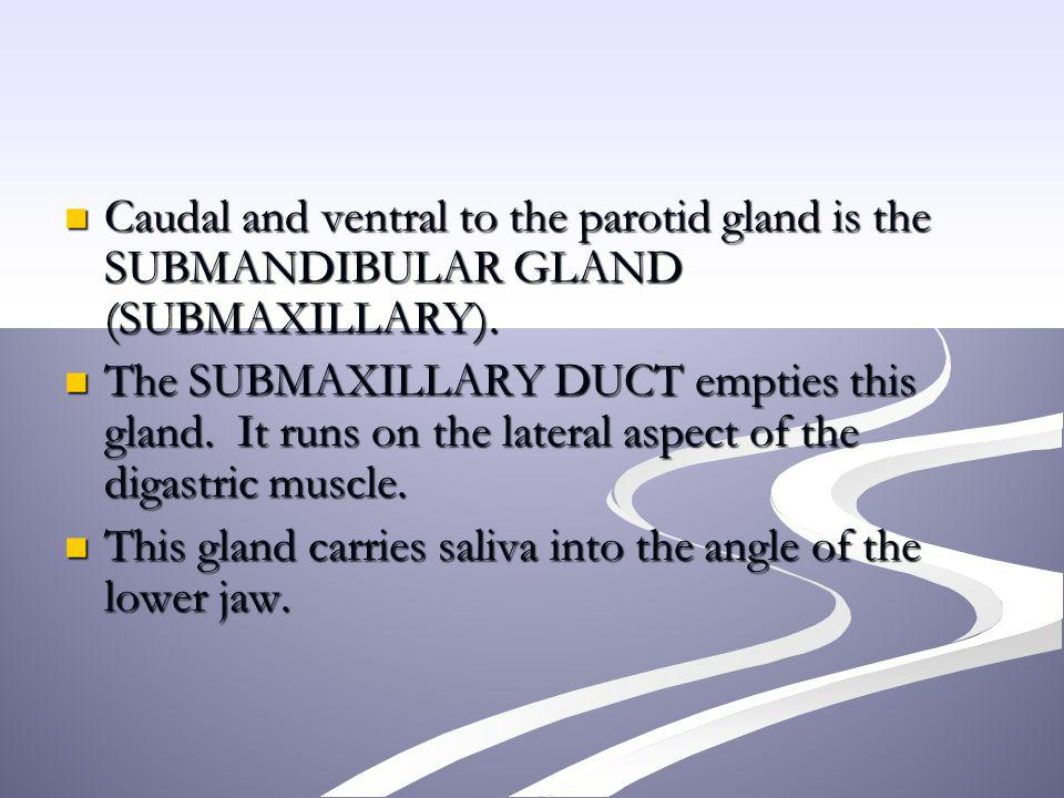 Caudal and ventral to the parotid gland is the SUBMANDIBULAR GLAND (SUBMAXILLARY).