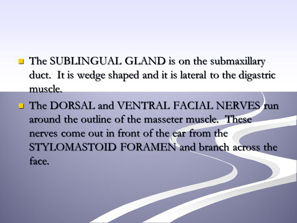 The SUBLINGUAL GLAND is on the submaxillary duct
