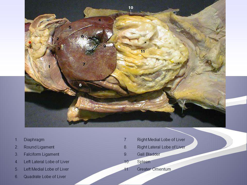 1. Diaphragm. 7. Right Medial Lobe of Liver. 2. Round Ligament. 8. Right Lateral Lobe of Liver.