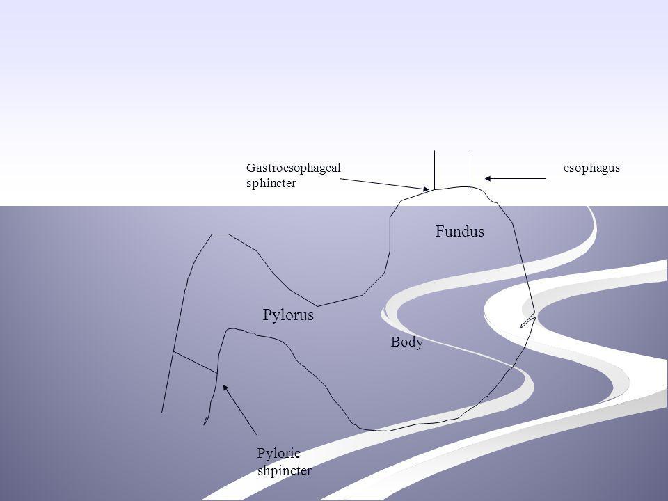 Fundus Pylorus Body Pyloric shpincter Gastroesophageal sphincter
