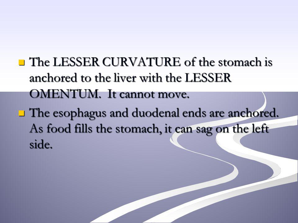 The LESSER CURVATURE of the stomach is anchored to the liver with the LESSER OMENTUM. It cannot move.