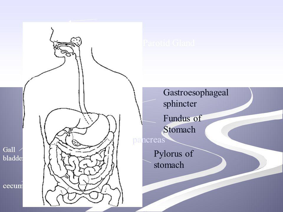 Gastroesophageal Sphincter Digestive System. - pp...