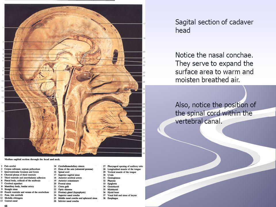 Sagital section of cadaver head