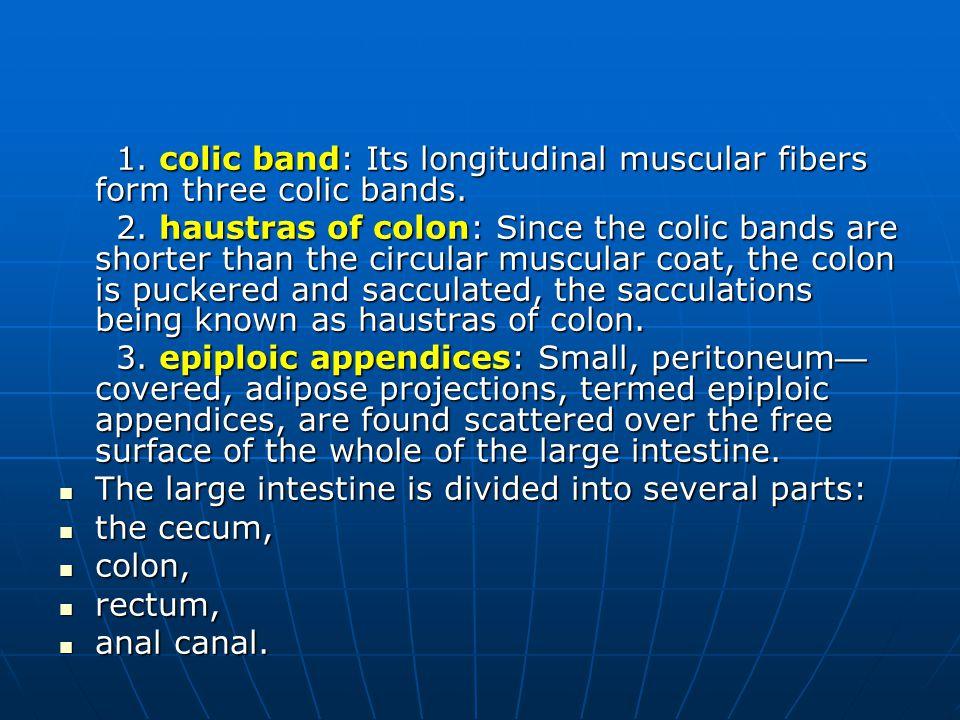 1. colic band: Its longitudinal muscular fibers form three colic bands.