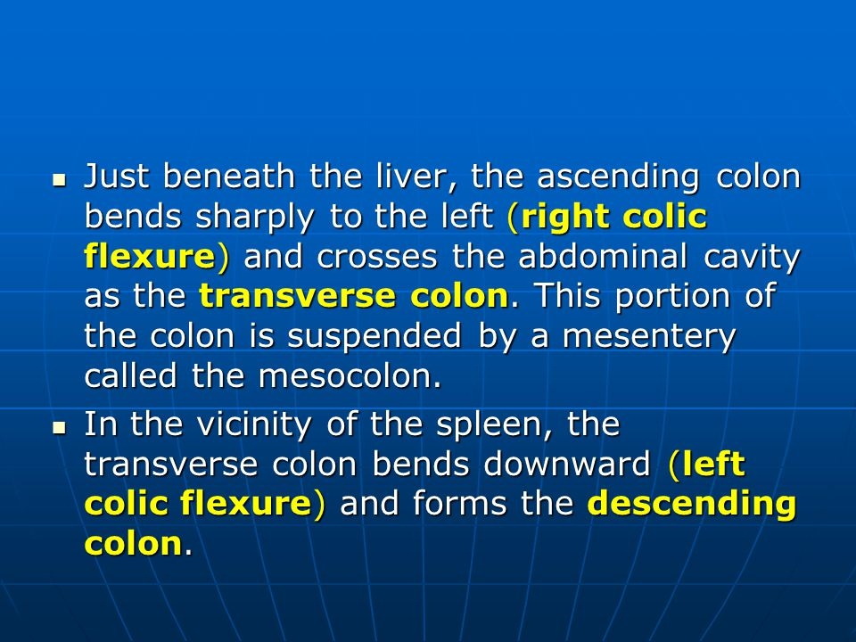 Just beneath the liver, the ascending colon bends sharply to the left (right colic flexure) and crosses the abdominal cavity as the transverse colon. This portion of the colon is suspended by a mesentery called the mesocolon.
