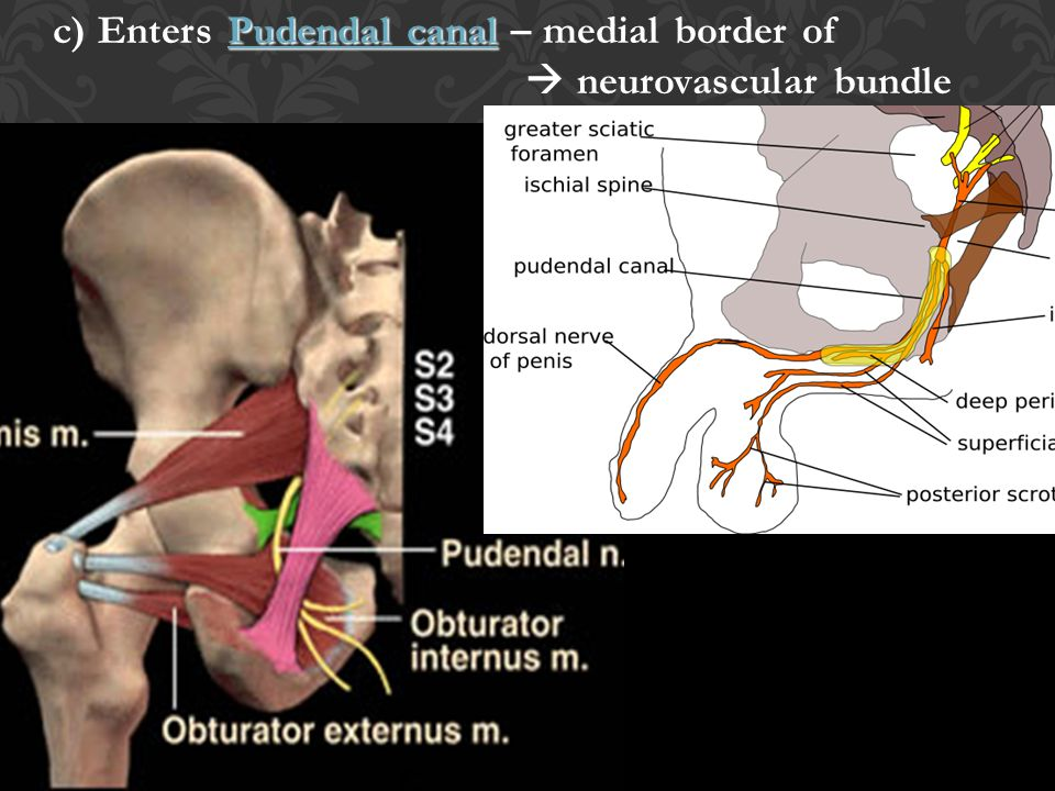 c) Enters Pudendal canal – medial border of  neurovascular bundle