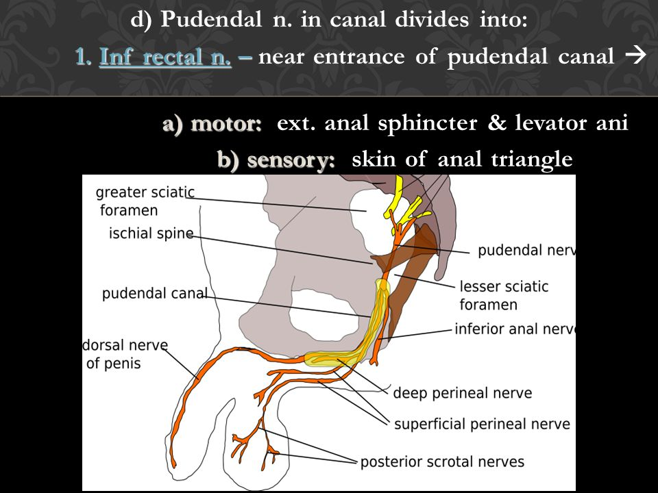 d) Pudendal n. in canal divides into: 1. Inf rectal n