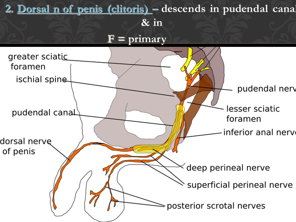 2. Dorsal n of penis (clitoris) – descends in pudendal canal & in F = primary