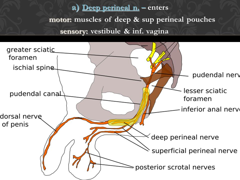 a) Deep perineal n. – enters