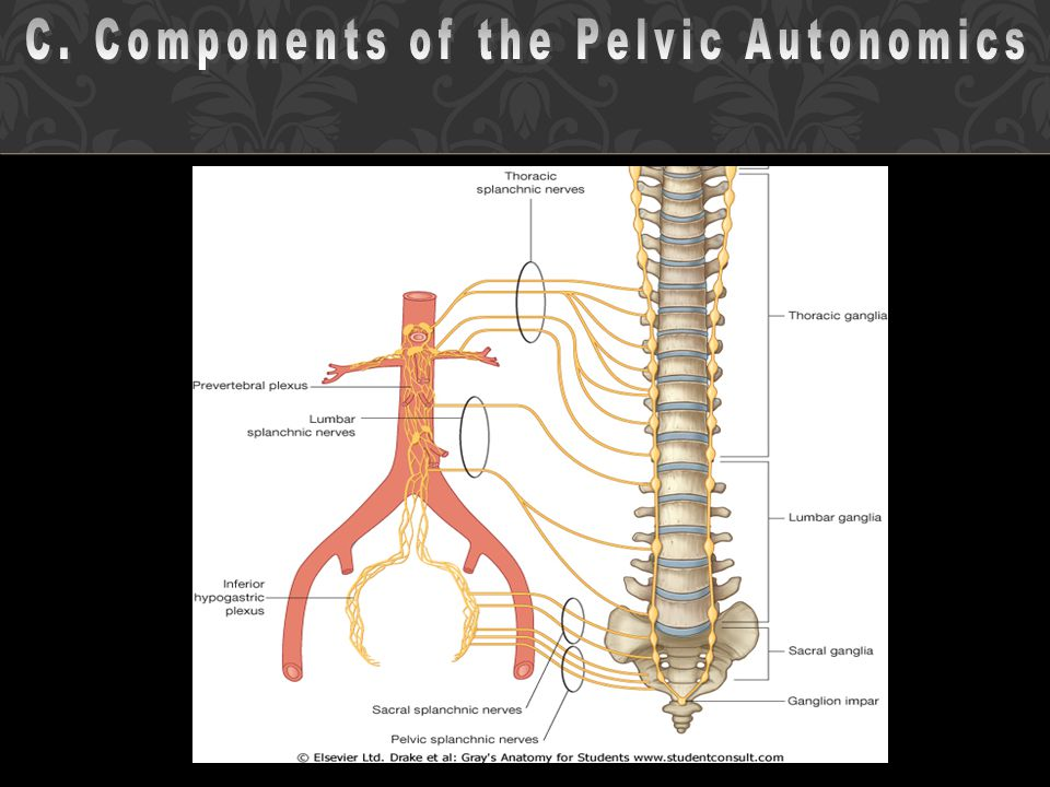 C. Components of the Pelvic Autonomics