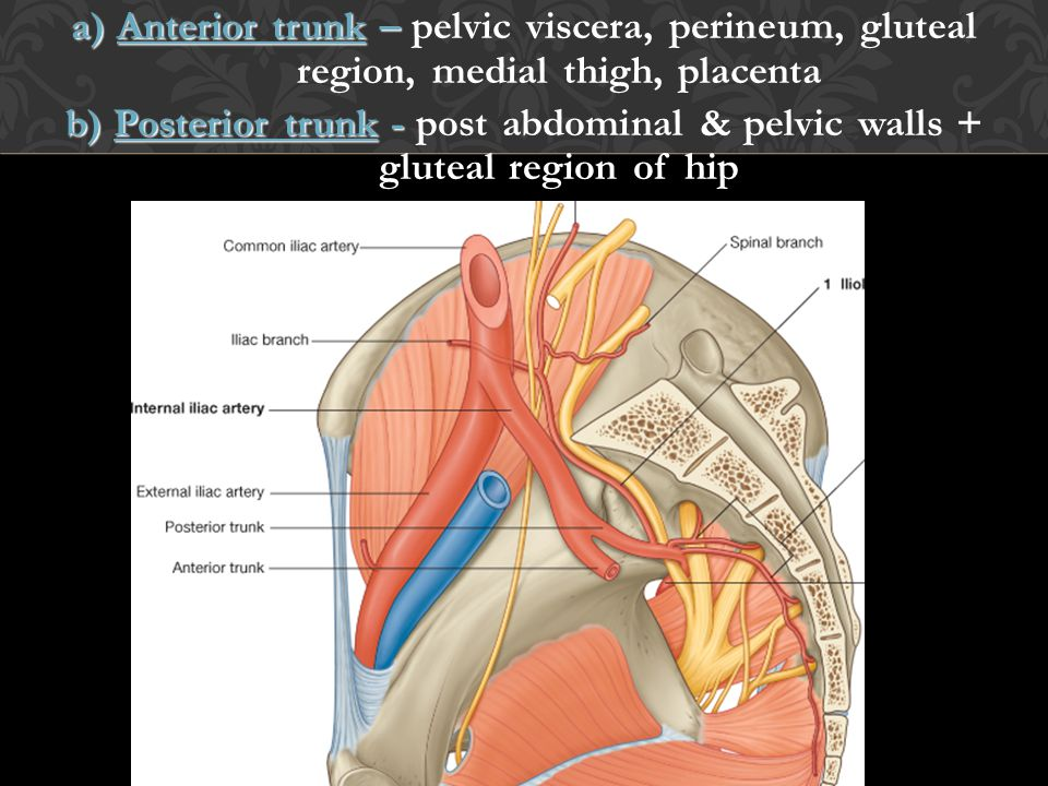 a) Anterior trunk – pelvic viscera, perineum, gluteal region, medial thigh, placenta
