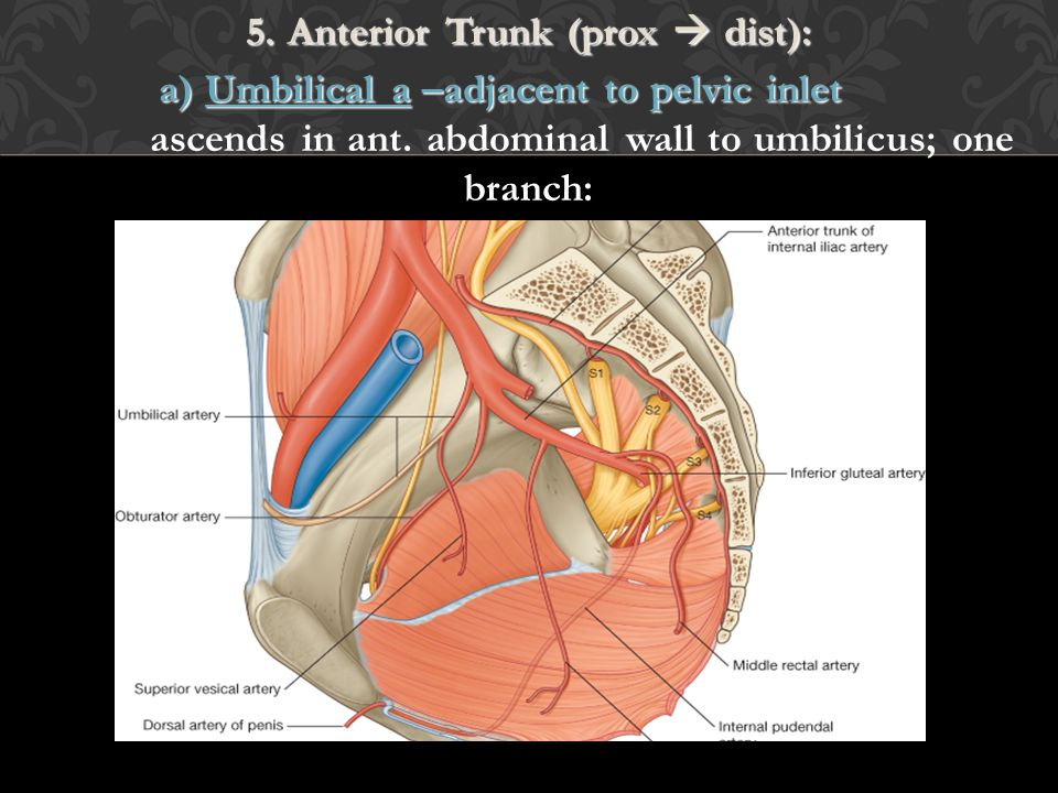 5. Anterior Trunk (prox  dist): a) Umbilical a –adjacent to pelvic inlet ascends in ant.
