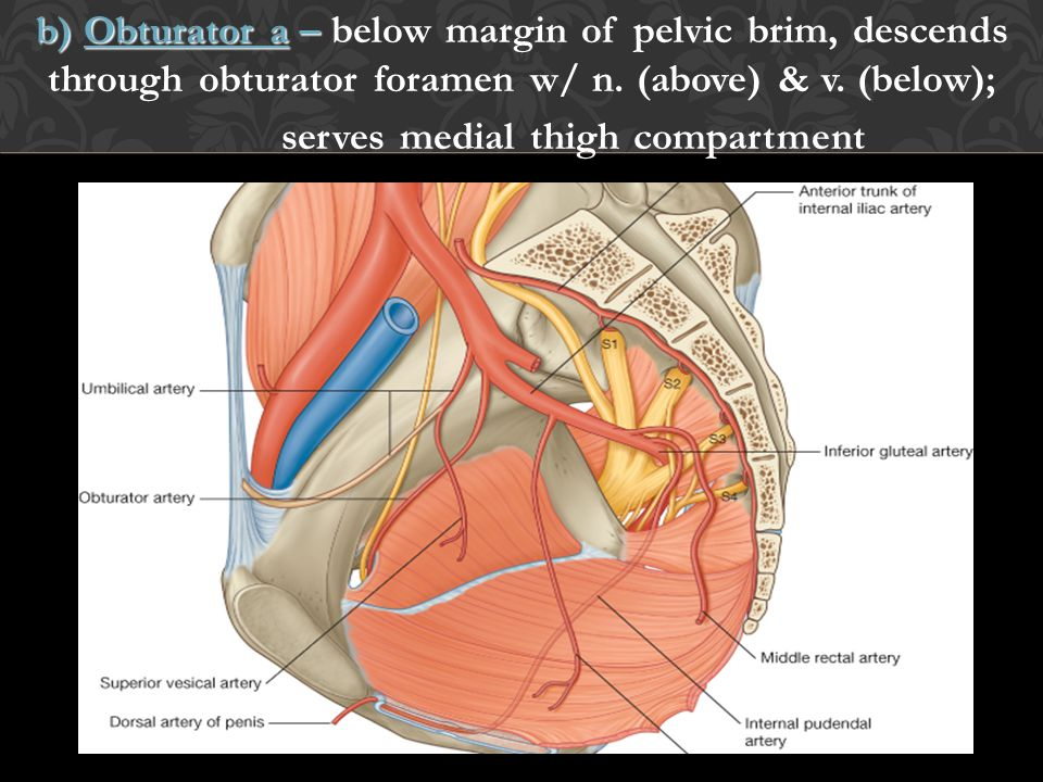b) Obturator a – below margin of pelvic brim, descends through obturator foramen w/ n.