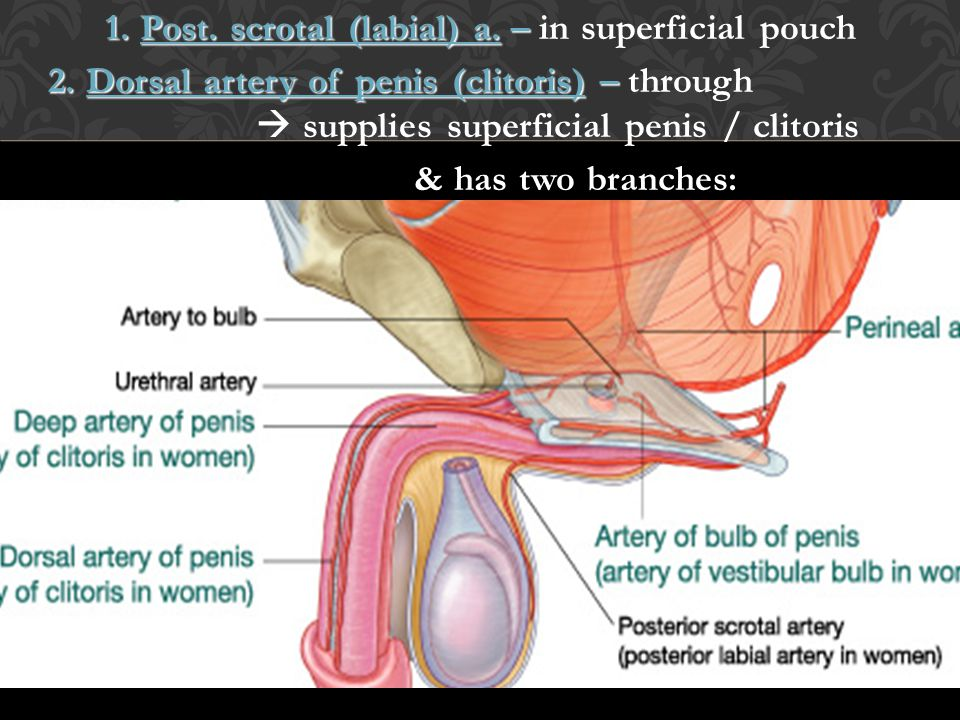 1. Post. scrotal (labial) a. – in superficial pouch 2