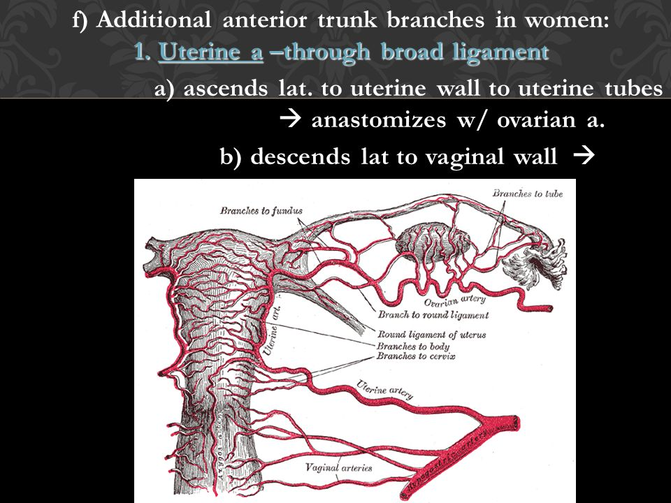 f) Additional anterior trunk branches in women: 1