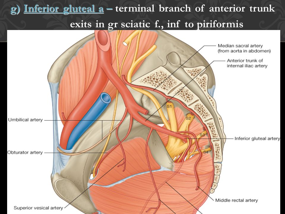 g) Inferior gluteal a – terminal branch of anterior trunk exits in gr sciatic f., inf to piriformis