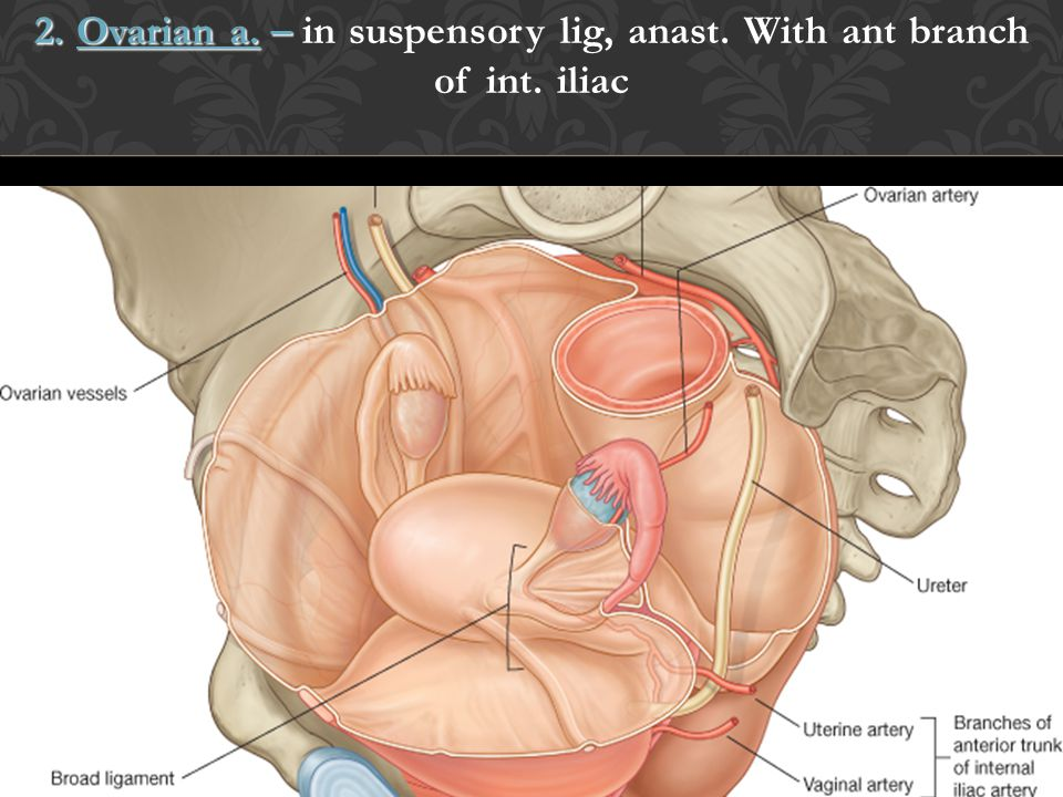 2. Ovarian a. – in suspensory lig, anast. With ant branch of int. iliac