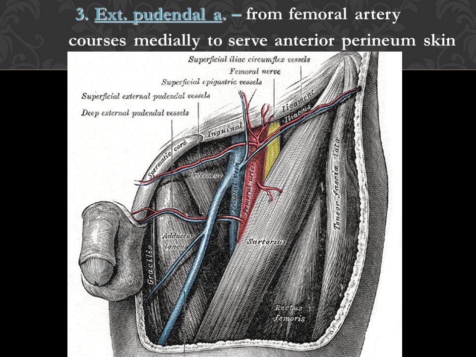 3. Ext. pudendal a. – from femoral artery courses medially to serve anterior perineum skin