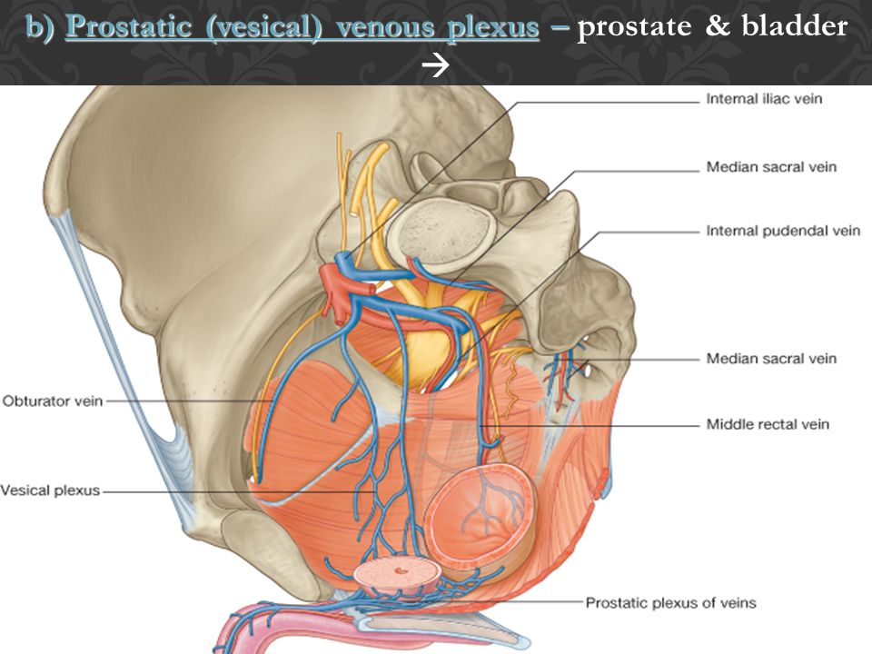 b) Prostatic (vesical) venous plexus – prostate & bladder 