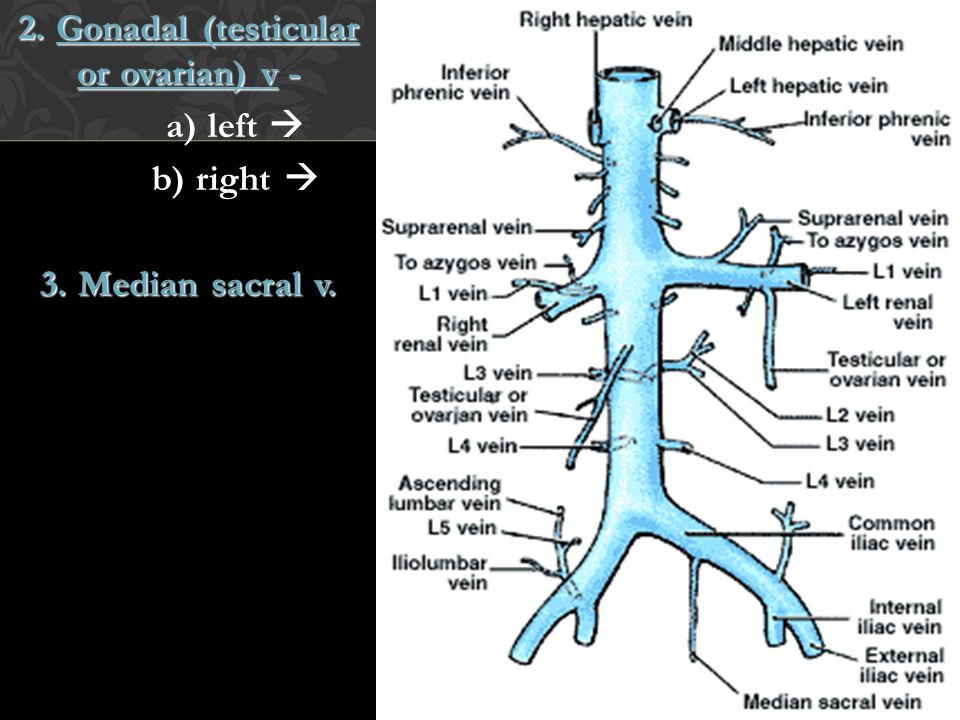 2. Gonadal (testicular or ovarian) v - a) left  b) right  3