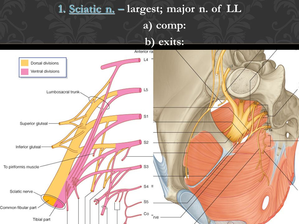 1. Sciatic n. – largest; major n. of LL a) comp: b) exits: