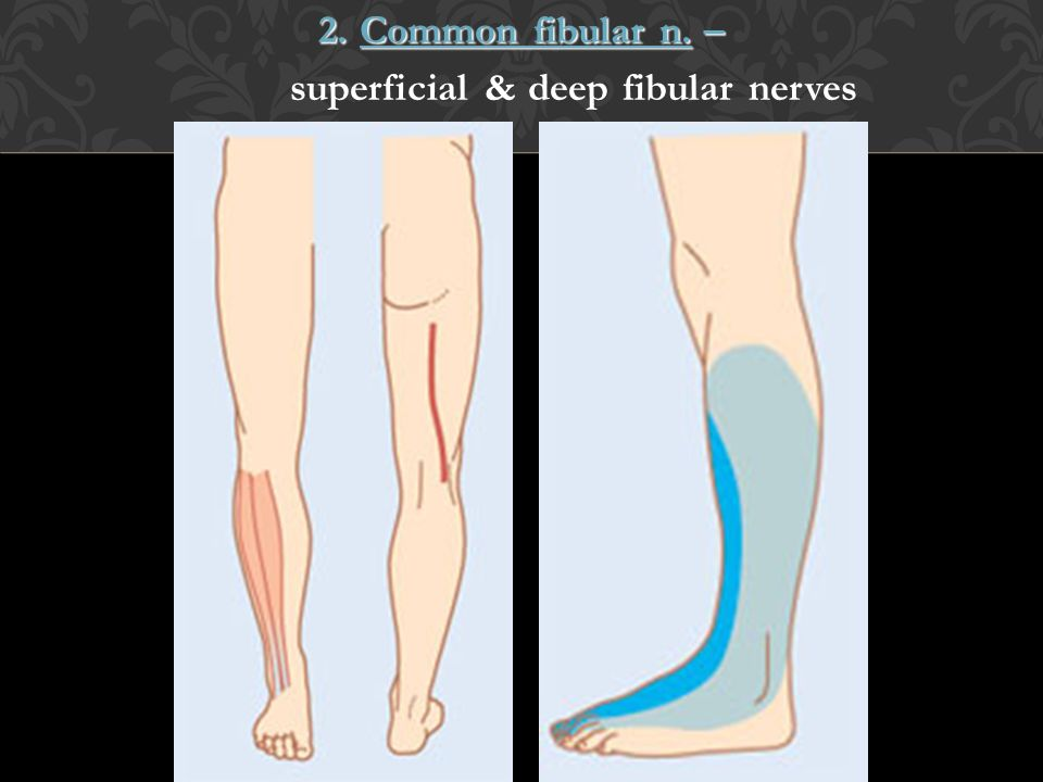 2. Common fibular n. – superficial & deep fibular nerves