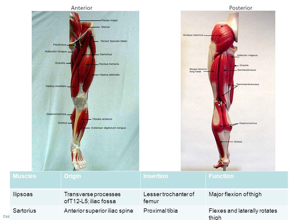 Anterior Posterior Muscles Origin Insertion Function Ilipsoas