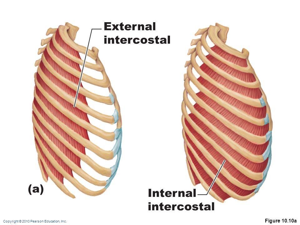 External intercostal (a) Internal intercostal Figure 10.10a