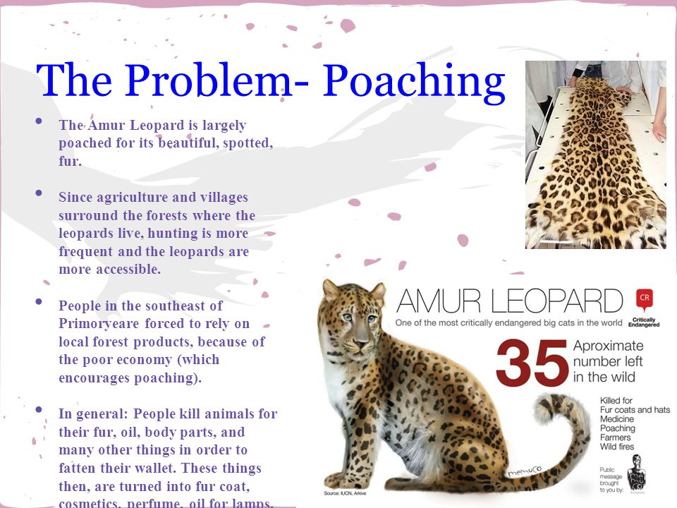 The Problem- Poaching The Amur Leopard is largely poached for its beautiful, spotted, fur.