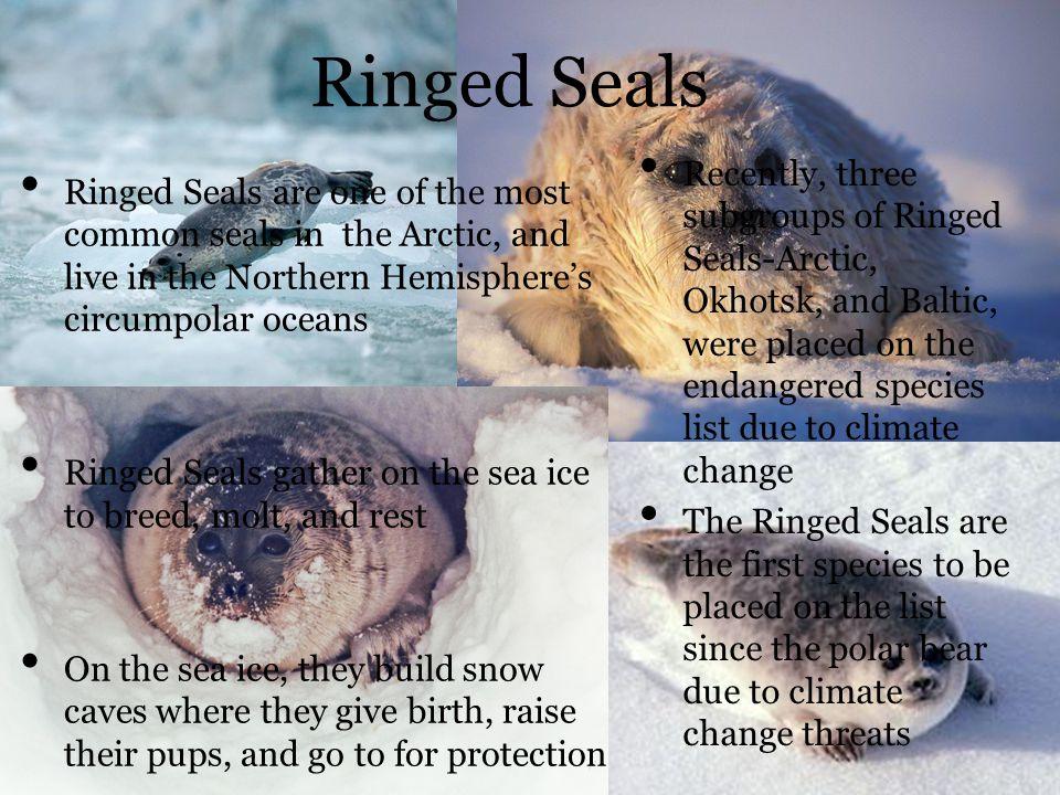 Ringed Seals