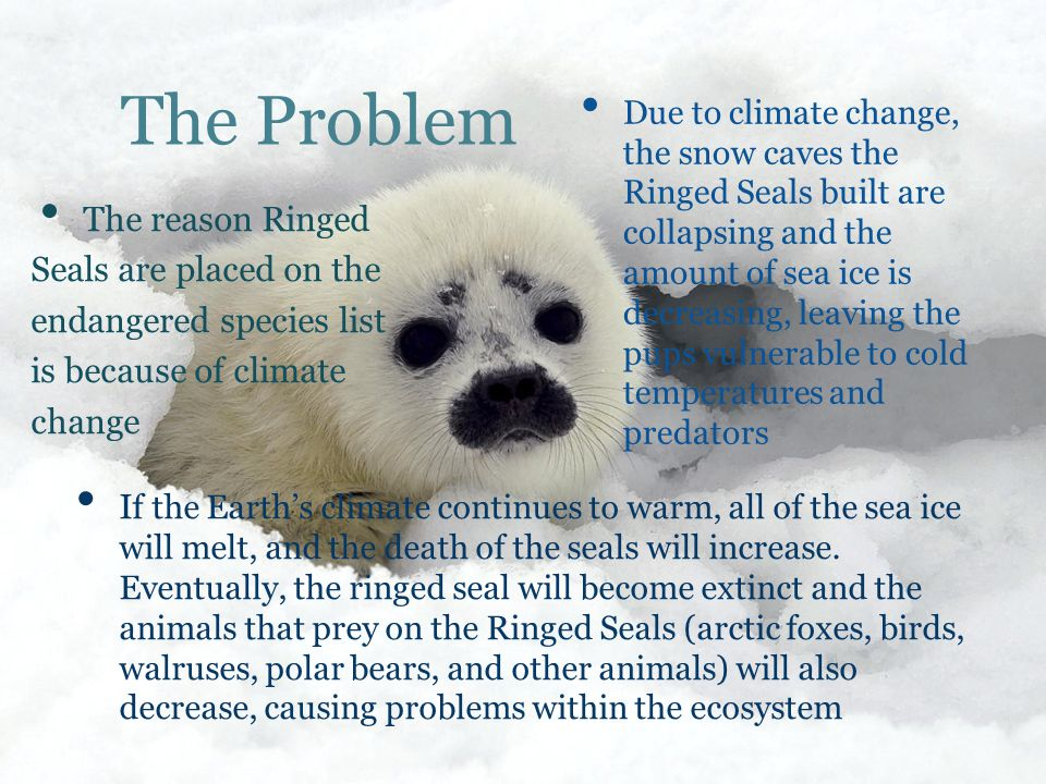 The Problem The reason Ringed Seals are placed on the