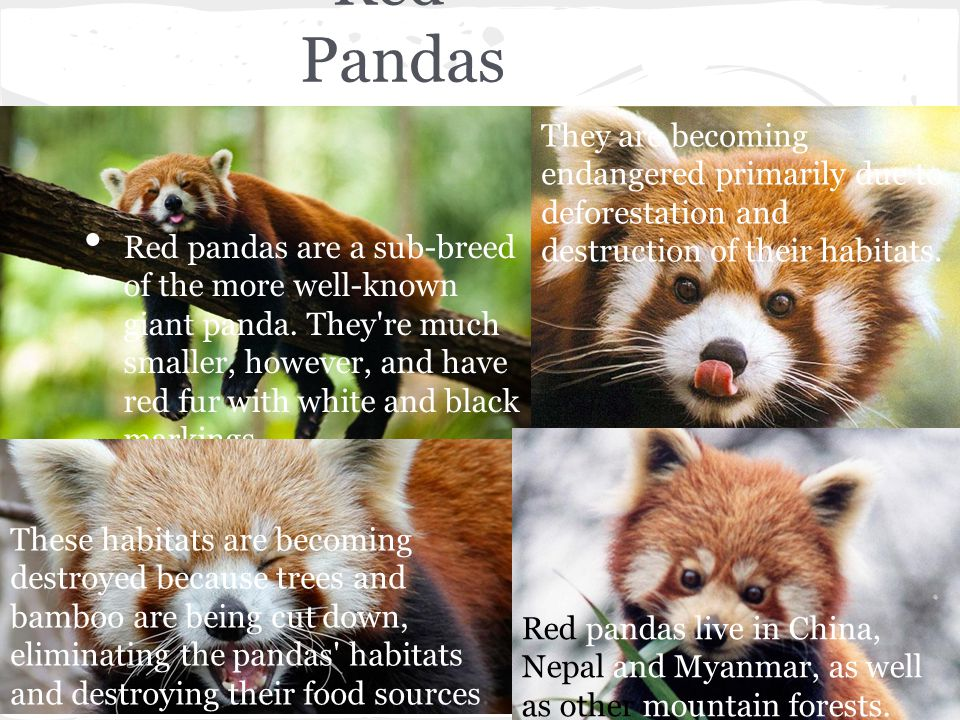 Red Pandas They are becoming endangered primarily due to deforestation and destruction of their habitats.