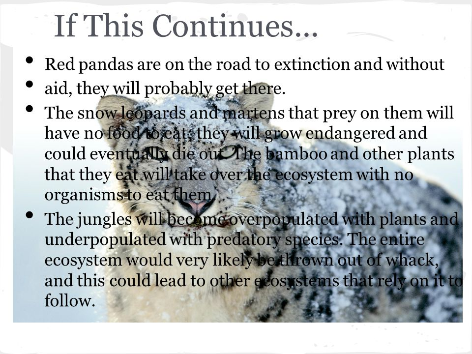 If This Continues... Red pandas are on the road to extinction and without. aid, they will probably get there.