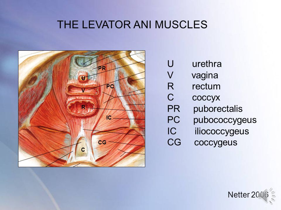 THE LEVATOR ANI MUSCLES