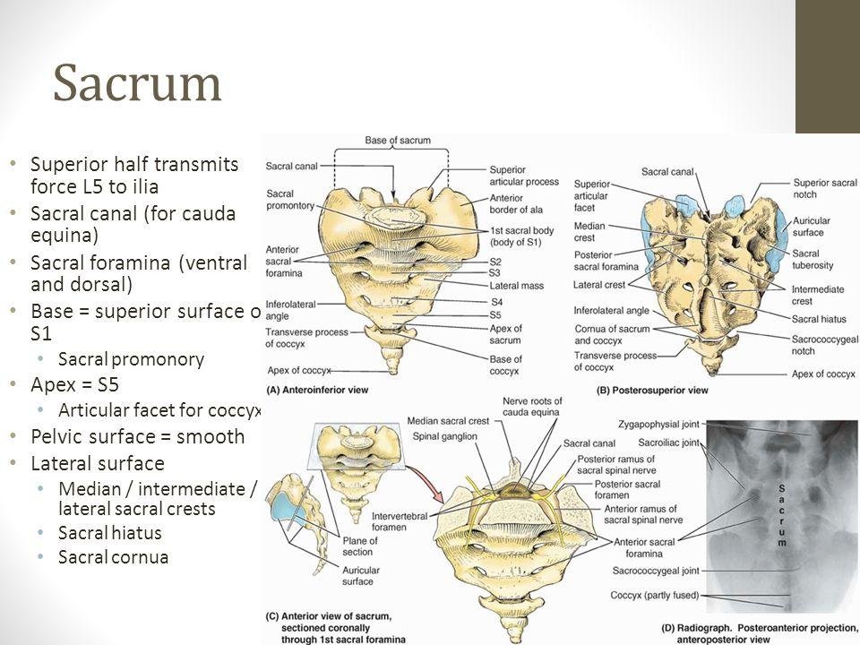 Sacrum Superior half transmits force L5 to ilia