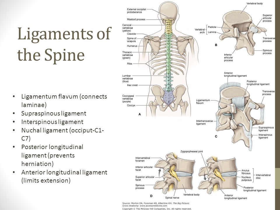 Ligaments of the Spine Ligamentum flavum (connects laminae)
